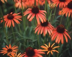 "Coneflower: Orange Flowers,"" Art's Pride"" aka Orange Meadowbright"