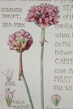 1910 Botanical Print by H. Isabel Adams: Thrift por PaperPopinjay