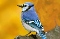 Considered one of the biggest, brassiest songbirds in North America, blue jays are easy to attract with these simple ideas. Red Bird Tattoos, Blue Jay Bird, Wild Bird Feeders, Bird House Kits, How To Attract Birds, Cardinal Birds, Backyard Birds, Little Birds, Kit Homes