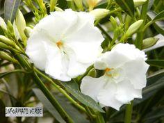 L'oleandro con il fiore doppio!