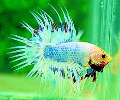 white blue marble CT Betta Fish Types, Siamese Fighting Fish, Koi, Aquarium, Exotic, Marble, Tropical, Collections, Blue