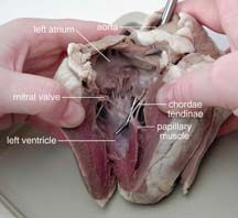 Cow heart dissection worksheet sheep heart dissection biology sheep heart dissection guide with pictures ccuart Image collections