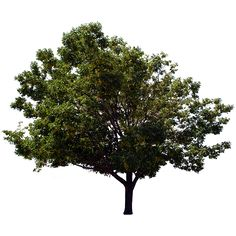 This is a photo of what looks like a terminalia mantaly with a clear, removed background; it can similarly be substituted for a number of other deciduous trees.