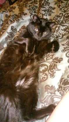 LOST BLACK CAT WITH NO TAIL (Collinsville/Canton) hide this posting image 2 of 4    © craigslist - Map data © OpenStreetMap maple ave (google map)  Black cat with no tail and 2 white spots, one on stomach, one on chest. Responds to Charlie. Missing since 5/20/2017 from Collinsville, CT.