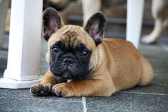French Bulldog Puppy, Frenchie <3