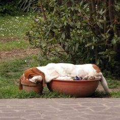 This so could have happened in my yard! You need a more comfortable bed little Basset Hound. Love ya! #dogs #animal
