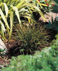 Plant photo of: Phormium 'Tom Thumb'