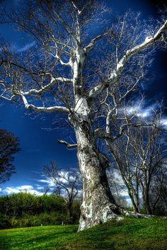 Old sycamore tree, North Carolina.