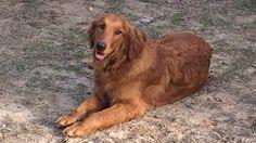 Lost Dog - Golden Retriever - Deepstep, GA, United States 31082