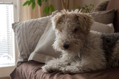Wire Fox Terrier- a fluffy baby.