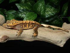Crested Gecko for sale Bz92