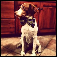 My handsome Brittany spaniel named Oakley