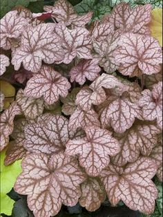 Heuchera Encore - I think the bunnies got to this one...