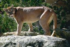Common Name: MOUNTAIN LION OR COUGAR,  Scientific Name: FELIS CONCOLOR