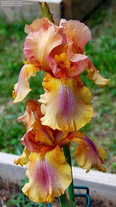 PlantFiles Pictures: Tall Bearded Iris 'Arizona Byways' (Iris) by 1913cat