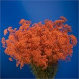 Buy wholesale Gypsophila Dyed Orange for delivery direct to any UK address - wholesaled in Batches of 25 stems. Ideal for wedding flowers, floral design & corporate events. No minimum order required - Floral accessories also available. Cut Flowers, Fresh Flowers, Florist Supplies, Wedding Fair, Gypsophila, Event Planning, Wedding Flowers, Things To Come, Herbs