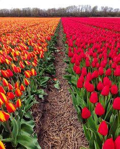 """❤️ Alguém aí disse """"tulipas""""? Keukenhof, Amsterdam  Foto: @bemvindosabordo  Corre lá no nosso Snap, pq tem o passeio completo ao jardim das tulipas, o Keukenhof!!  """"BEM VINDOS A BORDO"""" #amsterdam #amsterdan #amsterdamcity #holanda #netherlands #europa #europe #eurotrip #instatrip #instatravel #travelgram #wanderlust #bemvindosabordo #keukenhof #tulipas #tulips #flowers #flores #jardim #garden #missãovt #blogmochilando"""