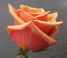 Chilis - Standard Rose - Roses - Flowers by category   Sierra Flower Finder