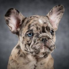 "Figure out even more relevant information on ""Bulldog Puppies"". Look into our site. Bulldog Puppies, Chihuahua, French Bulldog, Pets, Animals, Animals And Pets, Animales, Animaux, French Bulldog Shedding"