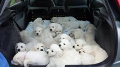 21 Golden Retriever puppies from two litters.