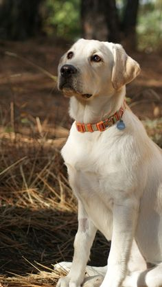 Beautiful Yellow Labrador