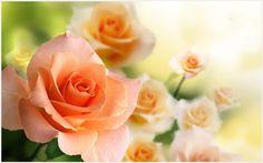 Rose Orange Flowers Wallpaper   orange rose flowers wallpapers