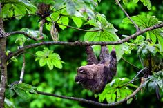 A three-toed sloth with its juvenile in a Cecropia tree, one of its preferred food plants, Barro Colorado Island, Panama. Photo copyright Christian Ziegler.