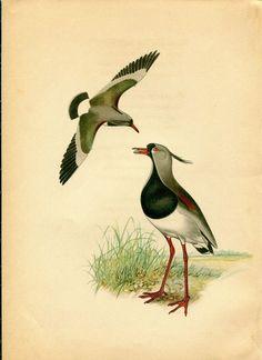 1942 Southern Lapwing Birds Vintage Print  by CarambasVintage, $16.00