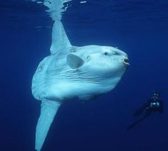 Mola Mola/Sun Fish - This two-ton fish is one of the largest and most bizarre animals found in the sea. Description from pinterest.com. I searched for this on bing.com/images
