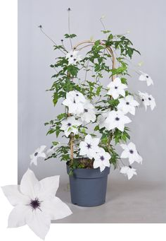 Clematis Garland® Collection Tsukiko™ Evipo110(N)