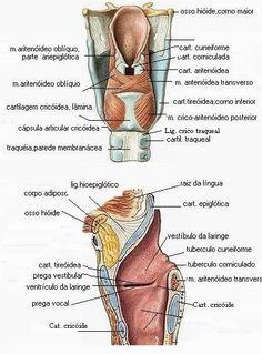40 Ideas De Laringe Laringe Anatomia Y Fisiologia Anatomía