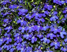 Lobélia Azul Crystal Palace Compacta (Ref Blue Plants, White Plants, Cool Plants, Perennial Ground Cover, Ground Cover Plants, Container Plants, Container Gardening, Types Of Blue Flowers, Orange Flowers