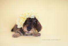 Wire-haired Dachshund Puppy by Serena Hodson