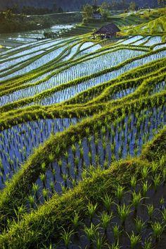 "Rice Terraces:  ""Field by Saelanwangsa via petitcabinetdecuriosites , justcallmegrace """