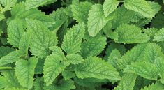 A natural mosquito repellent! Lemon Balm is a strongly aromatic herb with lemony fragrance. It also boasts excellent medicinal and culinary qualities. Shiny green leaves on full plants up to tall Organic Seeds, Organic Plants, Organic Gardening, Herb Gardening, Container Gardening, Herb Seeds, Garden Seeds, Hydroponic Growing, Hydroponics