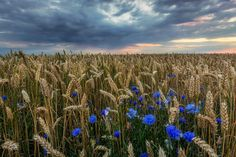 Cornflowers by Martin Worsøe Jensen on 500px