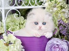 Himalayan Fold Kitten for Sale