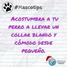 #Mascotips Acostumbra a tu perro a llevar un... - Hospital Veterinario Oftalvet