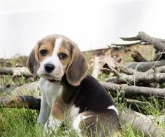 Beagle pup. So, so sweet.: Beagle Puppy, Beagle Pups, Beagles Gotta, Beagle Puppies, Beagley Boys, Sweet Baby, Sweet Beagle, Beagles 33333, Animal