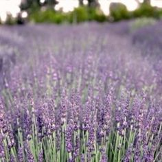 Magical lavender field, an orangerie, a sunken garden, and more.