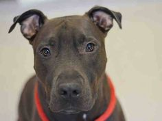 ★❥★ SAFE  3/23/15  ★❥★ Manhattan Center   KING ROYAL - A1030125  MALE, BLACK / WHITE, AM PIT BULL TER / LABRADOR RETR, 1 yr OWNER SUR - EVALUATE, NO HOLD Reason NO TIME  Intake condition EXAM REQ Intake Date 03/12/2015,  https://www.facebook.com/photo.php?fbid=977073095638903