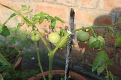 Organic Tomatoes growing in a Flower Pot.
