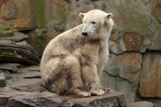 PIZZLY Bear: Ursid hybrid of grizzly/polar bear which has occured both in captivity and in the wild.