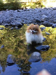 Pomeranian in a puddle! Pomeranian in a puddle! Puppies And Kitties, Cute Puppies, Cute Dogs, Spitz Pomeranian, Pomeranians, Samoyed, Baby Animals, Cute Animals, World Cutest Dog