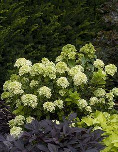 Syrinhortensia 'Little Lime' Høyde 60 cm Hvit Limelight Hydrangea, Hydrangea Paniculata, Backyard Shade, Shade Garden, Back Gardens, Small Gardens, Little Lime Hydrangea, Pink Hydrangea, Landscape Design