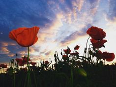 Clouds & Poppies