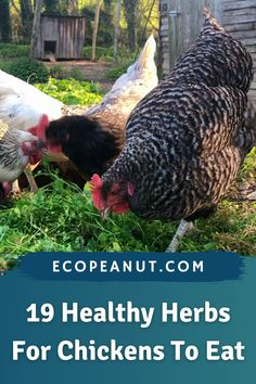 Snacks For Chickens, Plants For Chickens, What Can Chickens Eat, Raising Backyard Chickens, Baby Chickens, Keeping Chickens, Backyard Farming, Chicken Toys, Chicken Cages