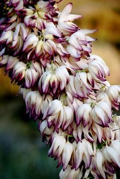 Hesperoyucca whipplei Flores em Baja por plantmanbuckner.