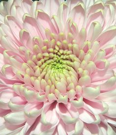Gerbera my favorite flower Fresh Flowers, Beautiful Flowers, Love Lily, Macro Flower, Flower Landscape, Beautiful Girl Indian, Flowering Trees, Gerbera, Trees To Plant