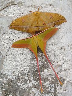 Silk and luna moths